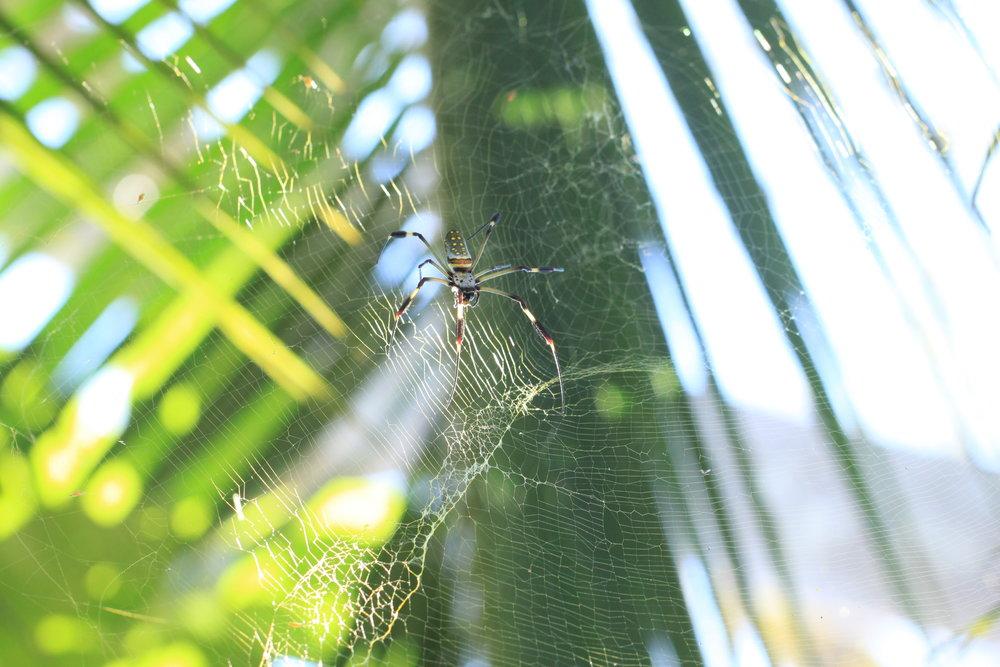 orb-weaver-Costa-Rica.jpg