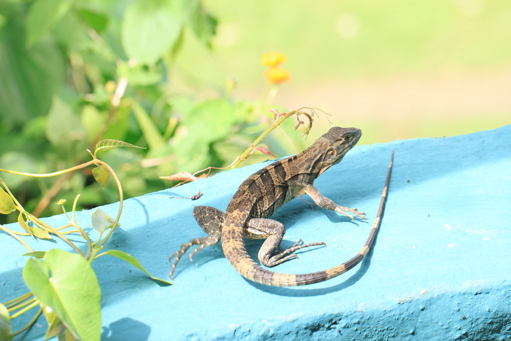 running-lizard-costa-rica.jpg