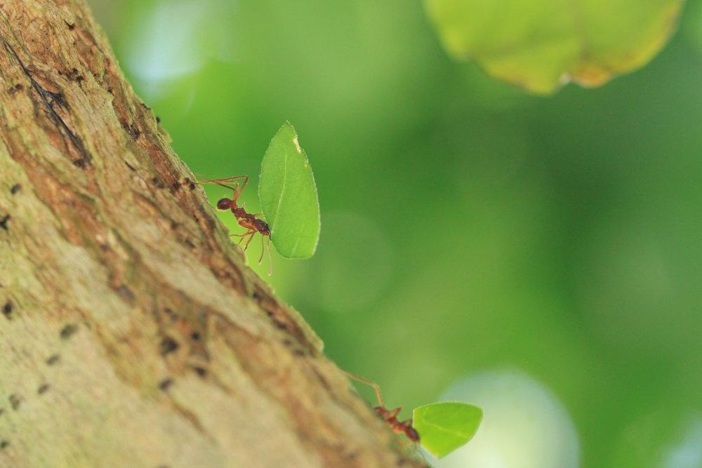 leaf-cutter-ants-costa-rica.jpg