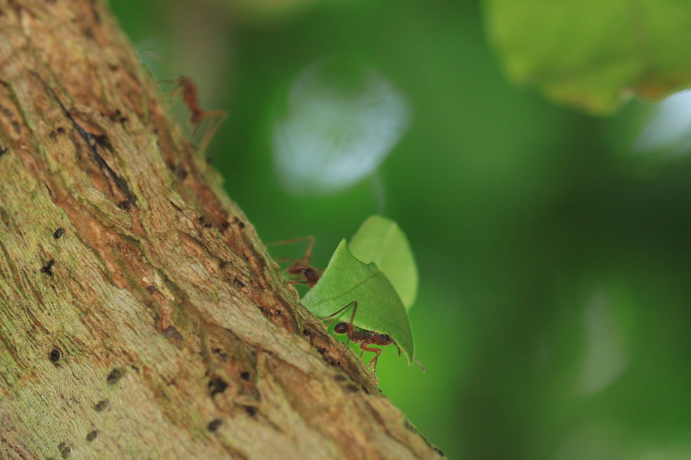 Leaf cutter ants can carry a leaf that is 50 times its own body weight. These leaves are then processed to grow fungus gardens that feed the entire colony.