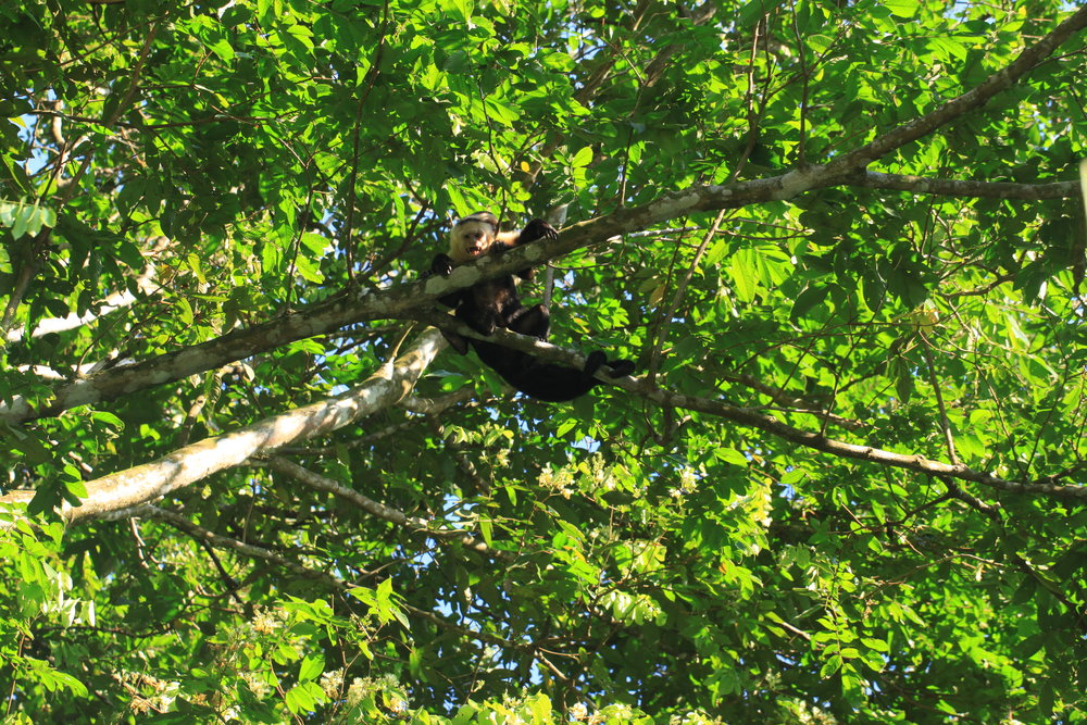 Spider monkeys screaming from the trees. Manuel Antonio, Costa Rica.