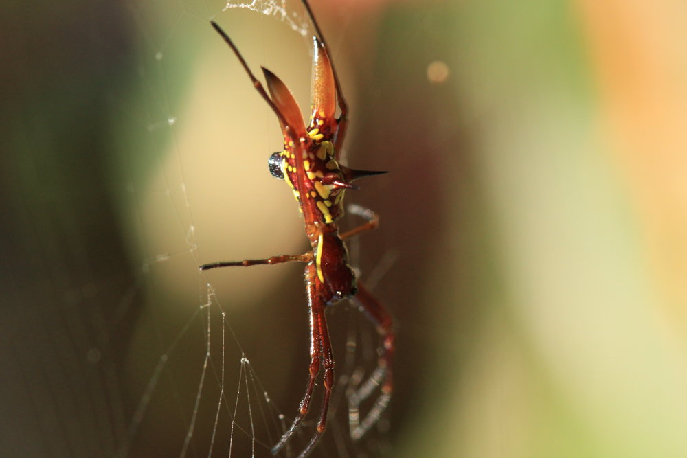 arrowhead-spider-costa-rica.jpg