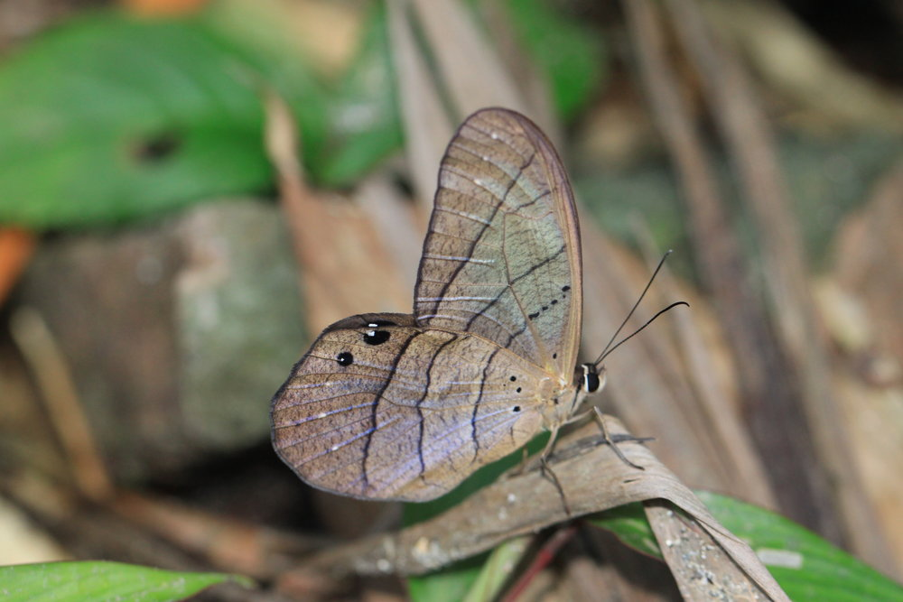 brown-butterfly-costa-rica.jpg