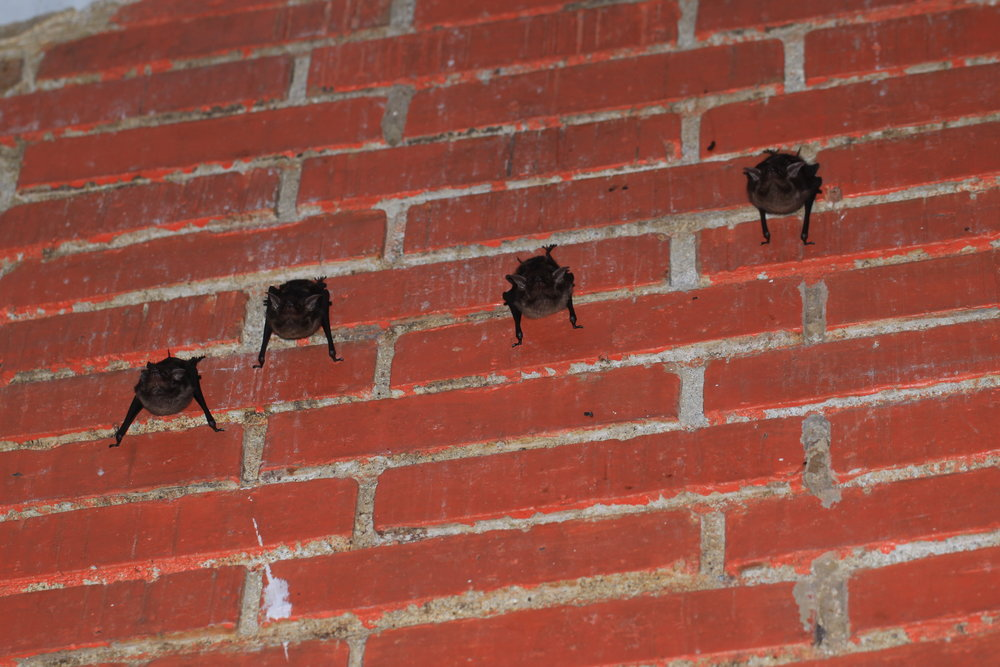 Bats on a wall. Manuel Antonio, Costa Rica.