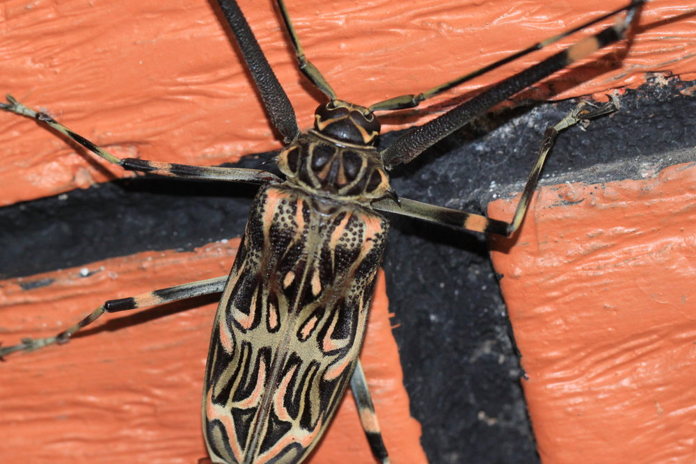 A gorgeous Harlequin Beetle ( Acrocinus longimanus ) popped up on the school house and WOW—to see one up close was a thrill!