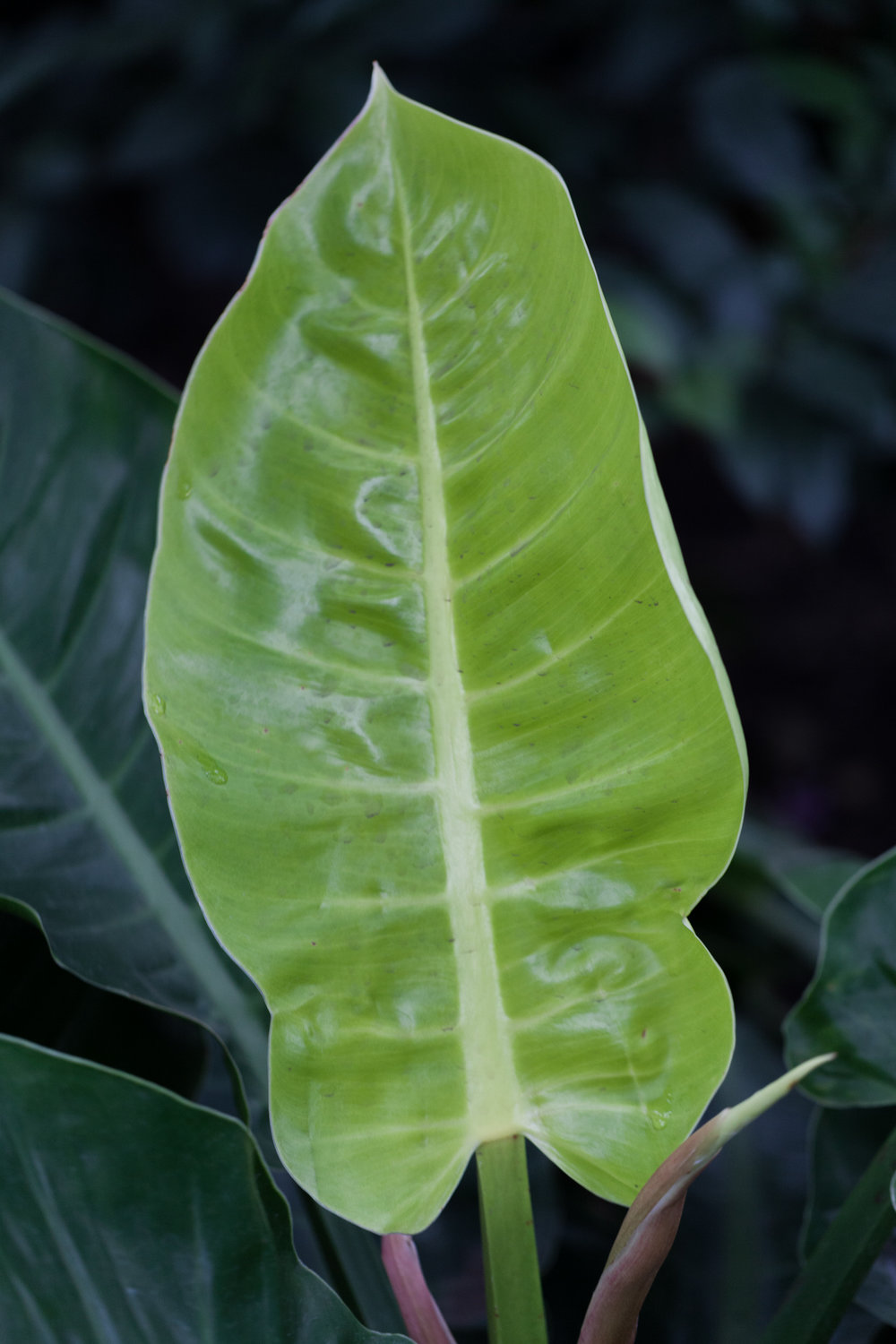 A new leaf emerges from a  Philodendron   sp.