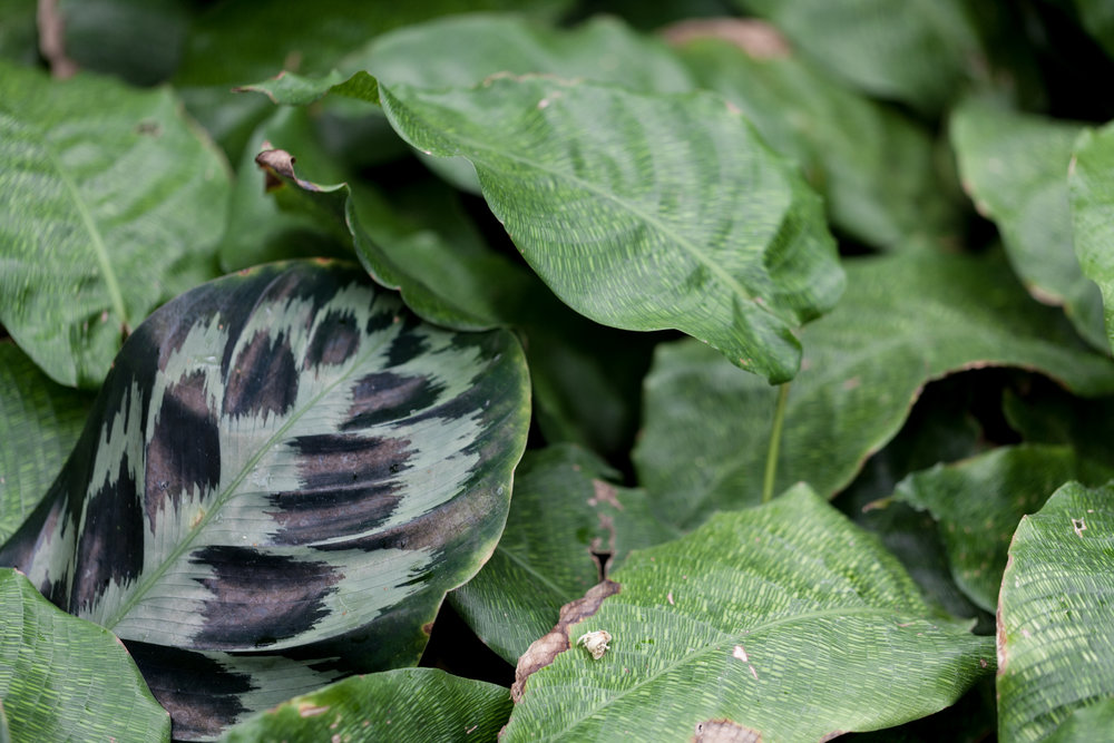Calathea 'Helen Kennedy' and  Calathea musaica  at the Garfield Park Conservatory.