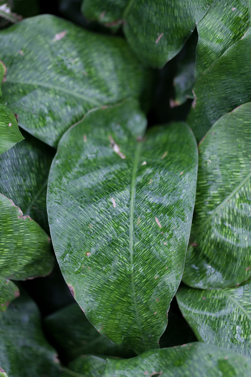 The unique venation and markings of Spirit Calathea  (  Calathea musaica).