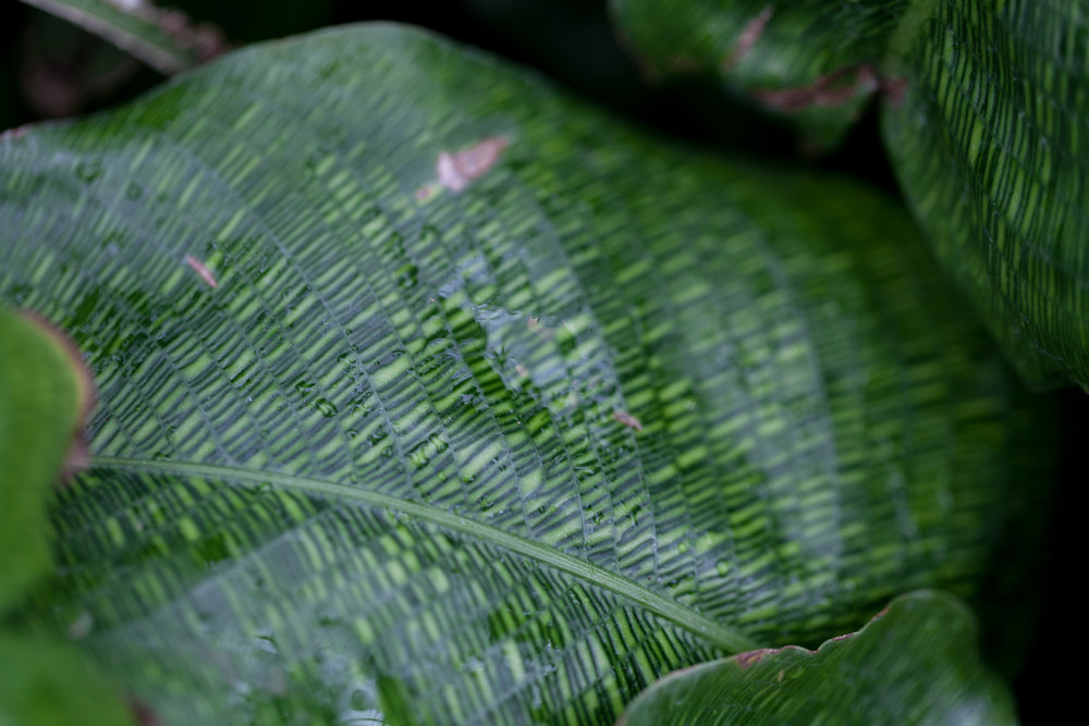 Close-up on  Calathea musaica  at the Garfield Park Conservatory.