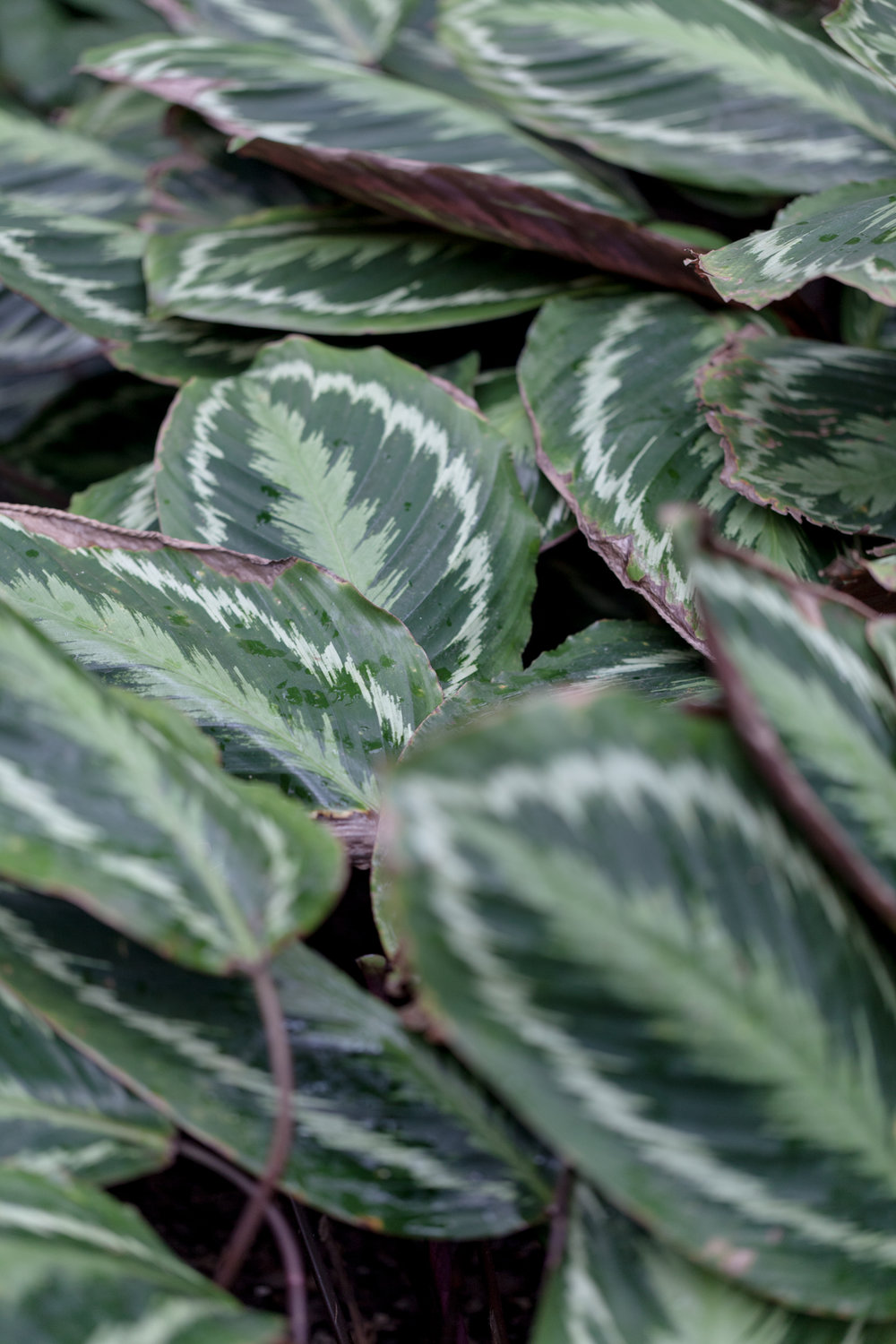 White flowering Calathea 'Encore'