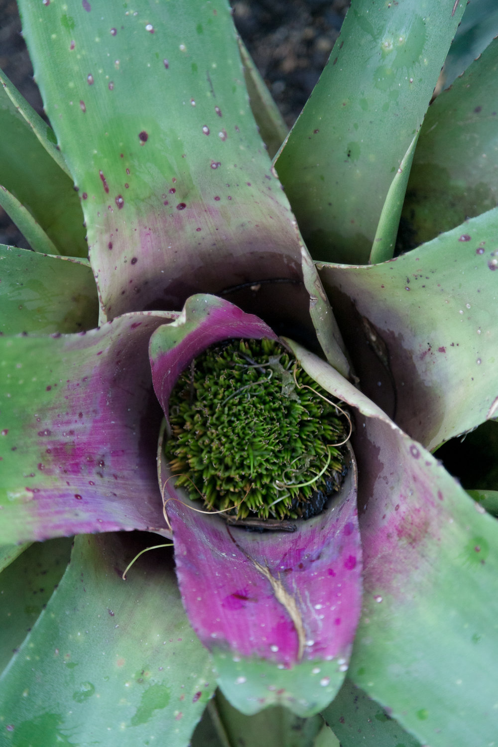 Bromeliad, up-close