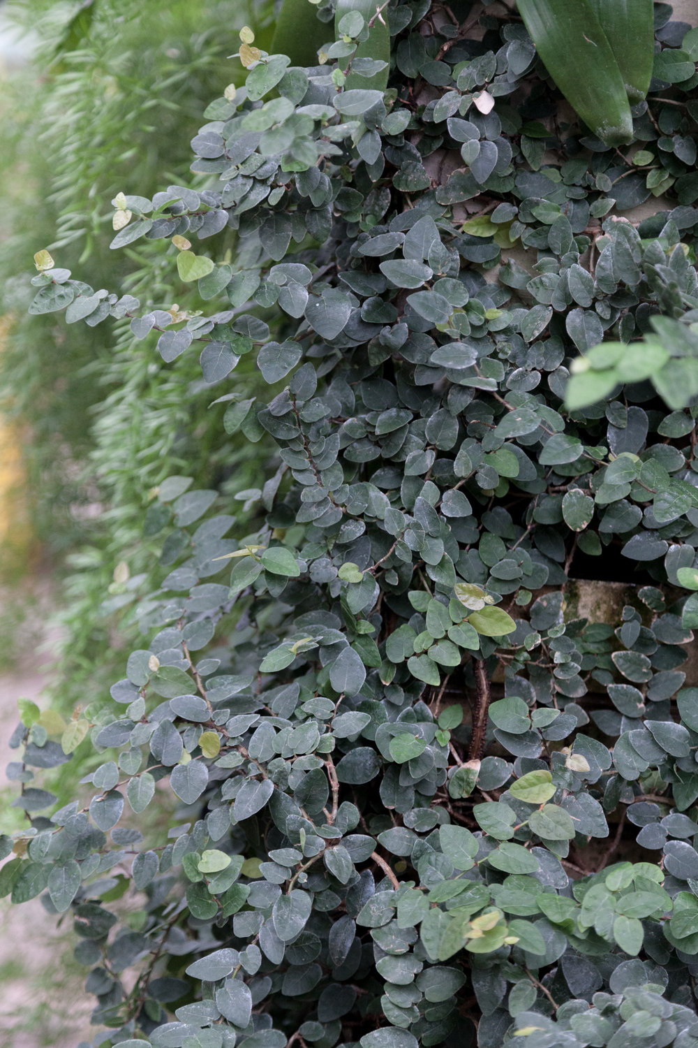Creeping fig ( Ficus pumila )