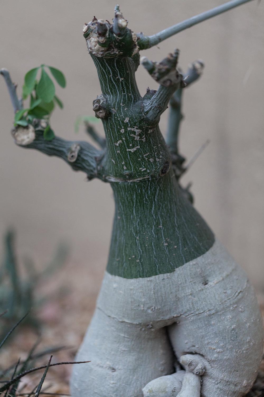 Adenia fruticosa or clover vine