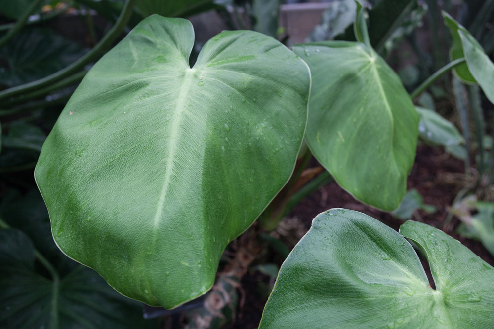 Philodendron rugosum  otherwise Pigskin philodendron