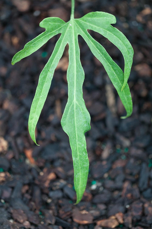 Anthurium podophyllum