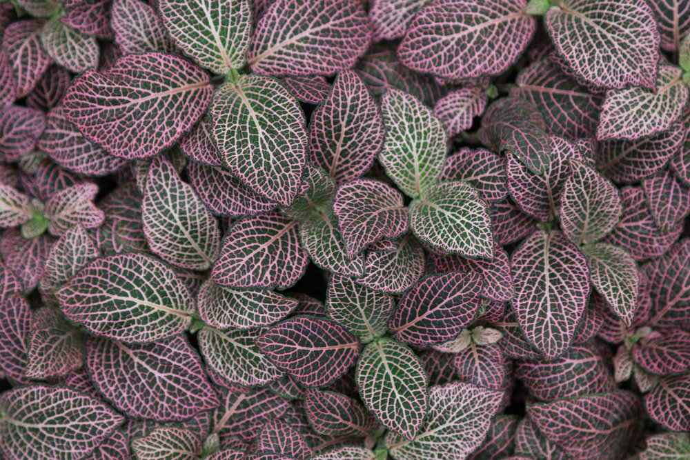Pink nerve plant ( Fittonia  sp.)