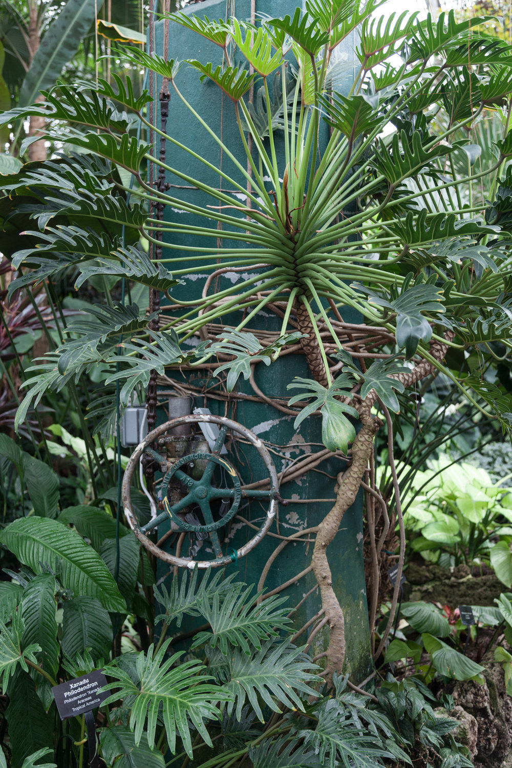 I love the industrial components of the Conservatory combined with the organic nature of the  Philodendron.