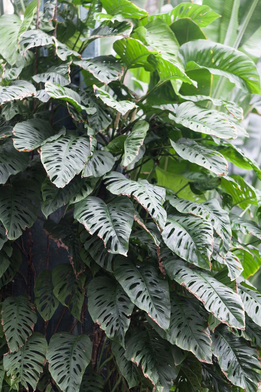 Monstera obliqua  or Swiss cheese plant