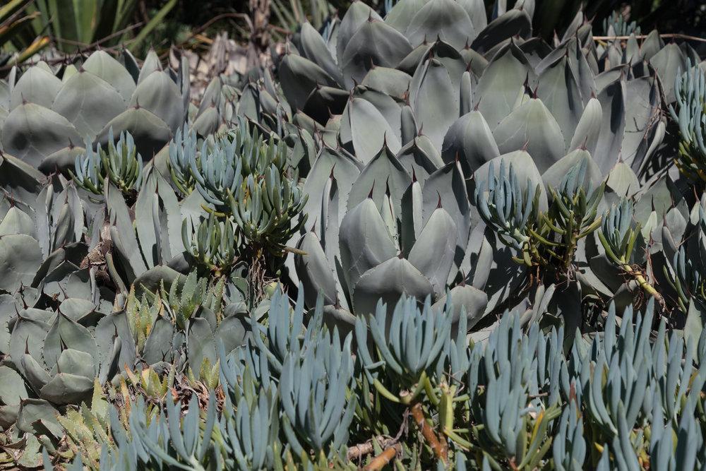 succulents-Fullerton-Arboretum.jpg