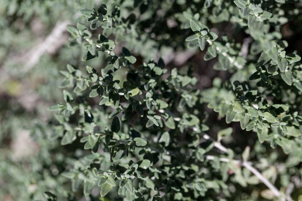 Cat thyme ( Teucrium marum )