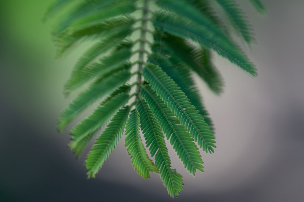 tree-leaves-fullerton-arboretum.jpg