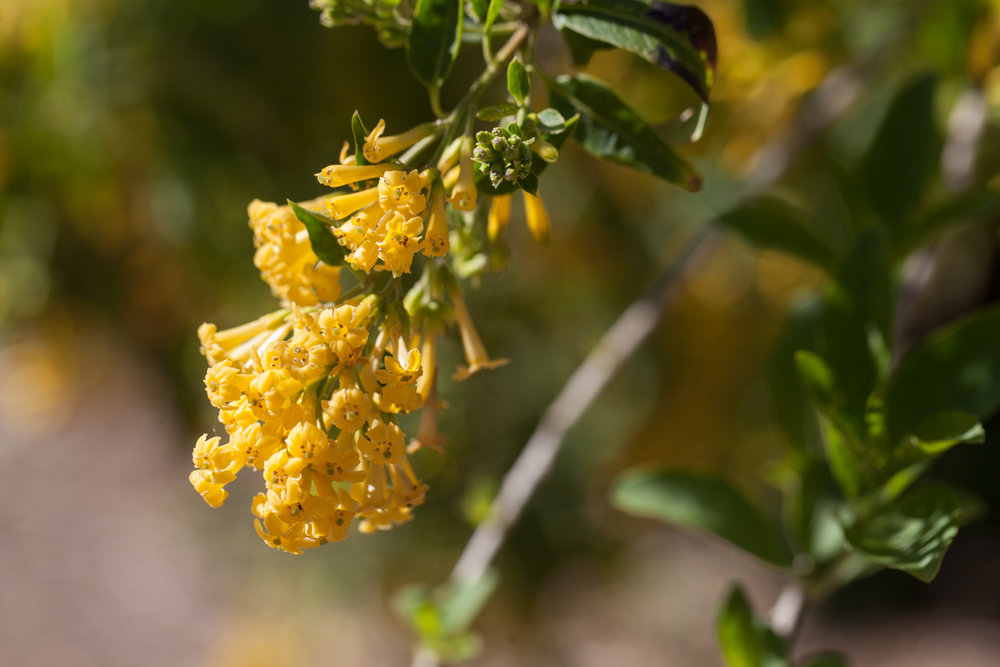 yellow-flowers-fullerton-arboretum.jpg