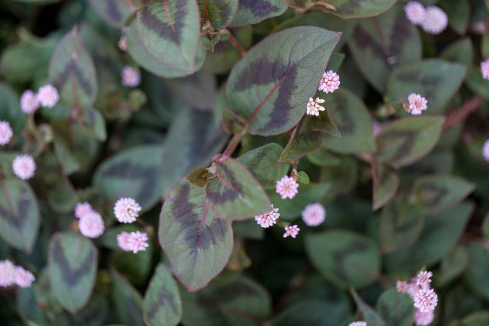 pink-flowers-fullerton-arboretum.jpg