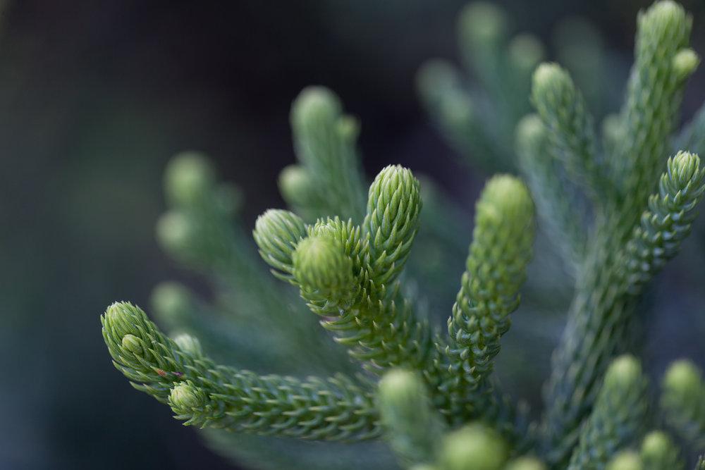 pine-fullerton-arboretum.jpg