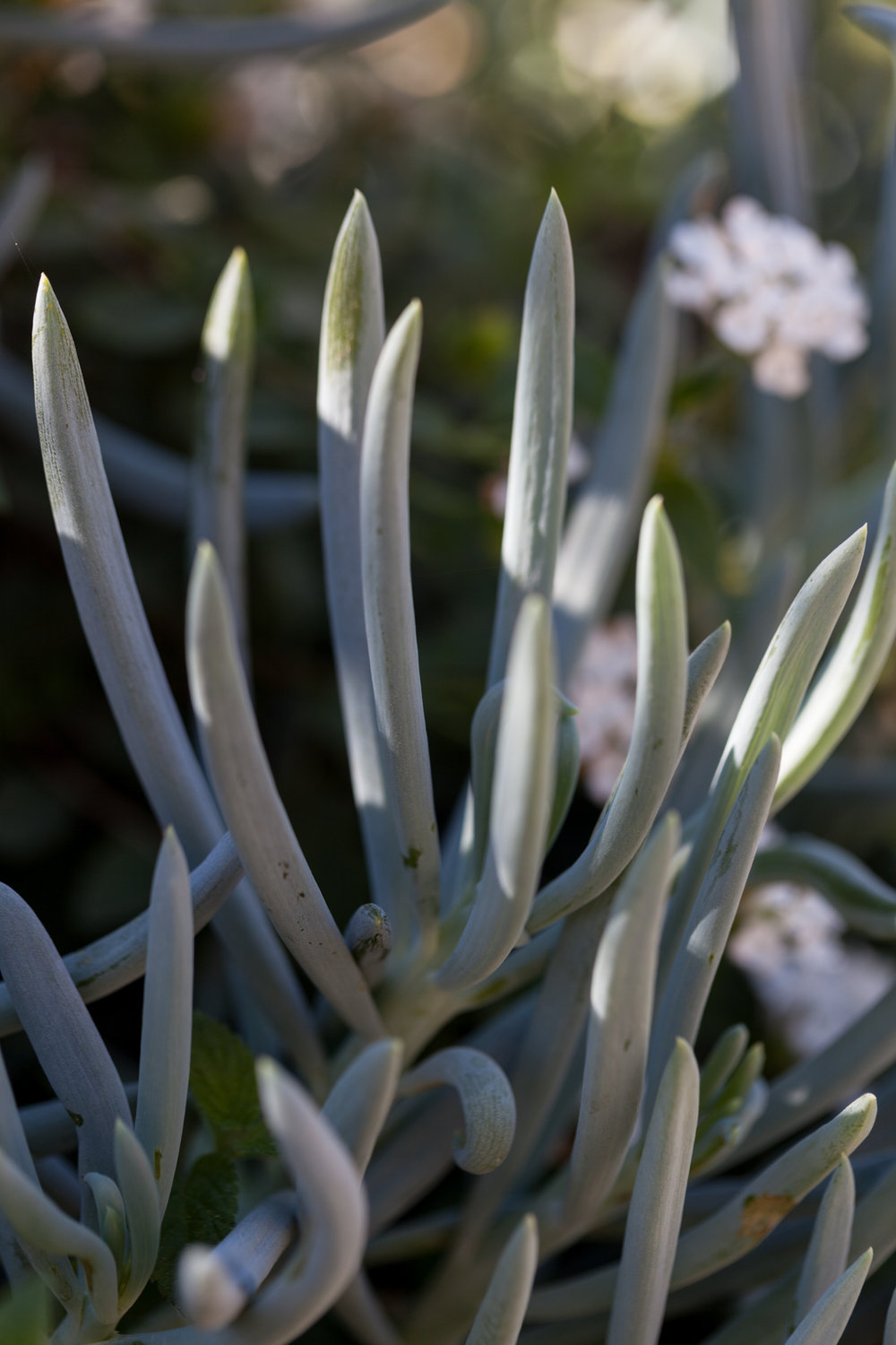 "The aptly named ""Blue chalk sticks"" or  Senecio-mandriliscae"