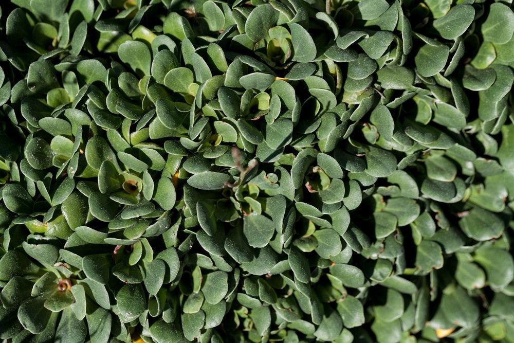 Albany woollybush (Adenanthos x. cunninghamii)