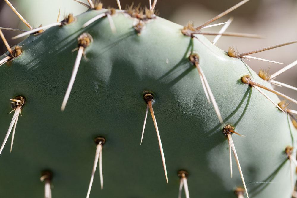 optunia-cacti-fullerton-arboretum.jpg