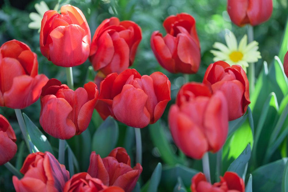 tulips-allan-garden-conservatory.jpg