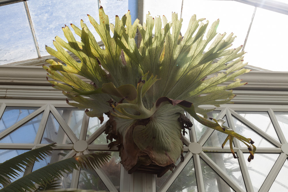 staghorn-fern.jpg