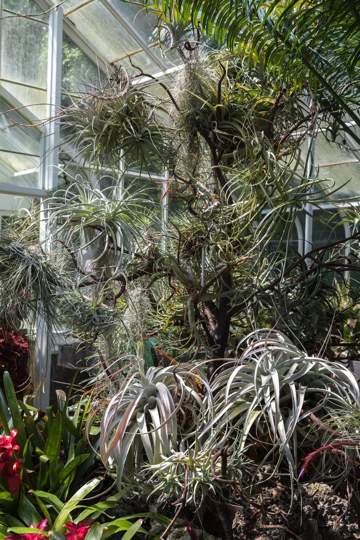 tillandsia-volunteer-park-conservatory.jpg