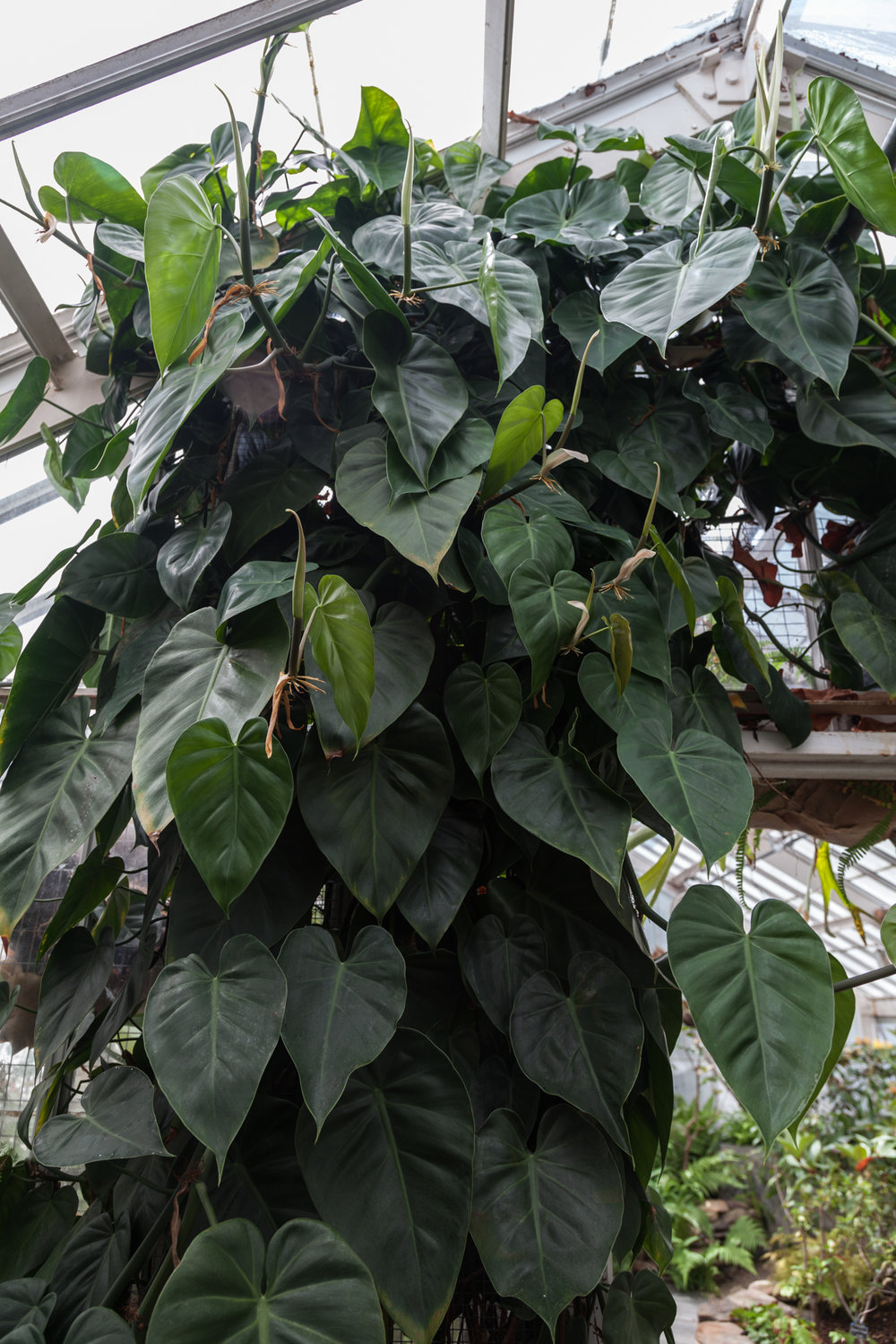 A might  Philodendron  crawls skyward