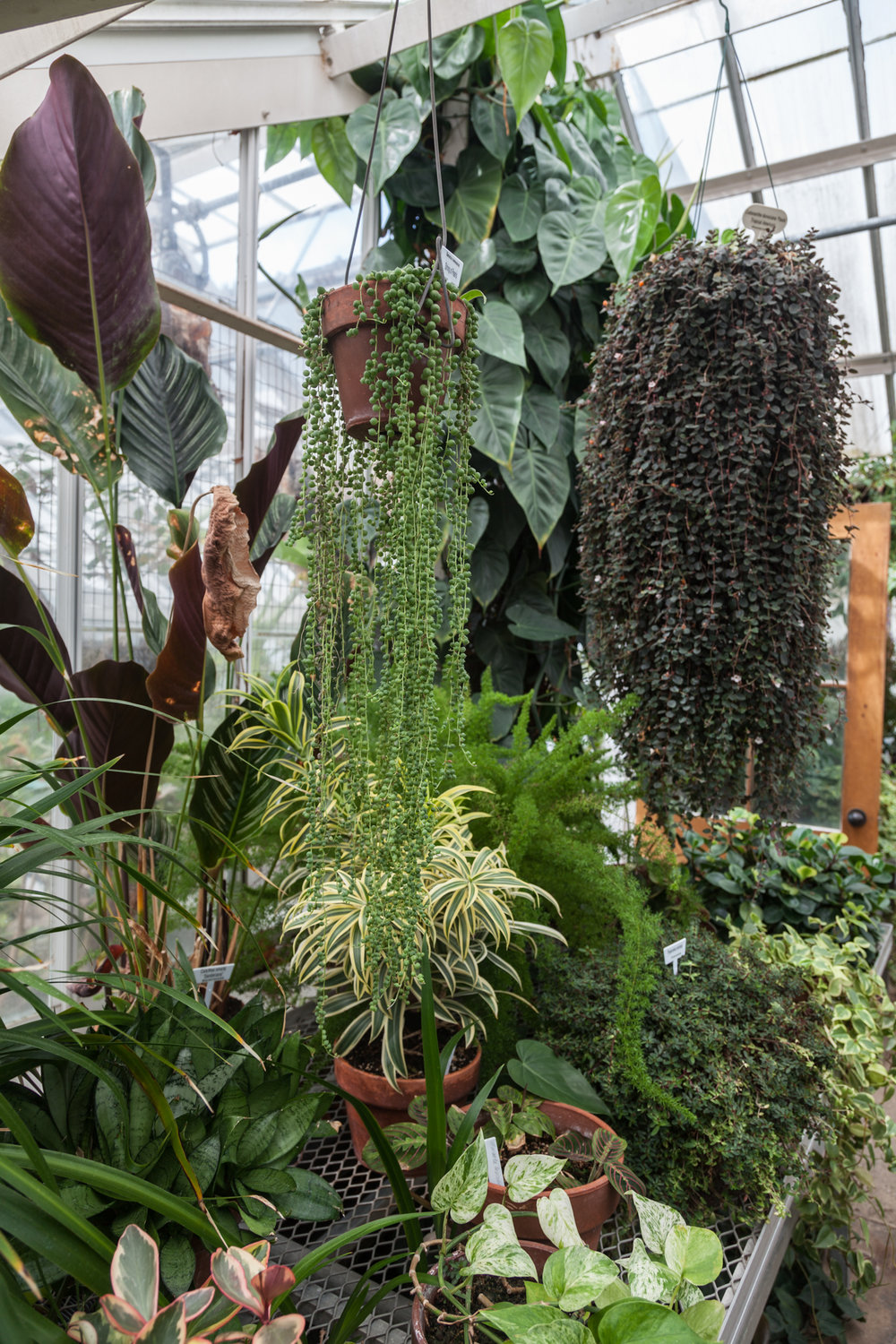 A Senecio rowleyanus, or string-of-pearls, hangs in the foreground flanked by a plethora of plants