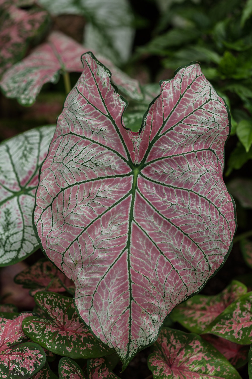 The exquisite coloration of  Caladium