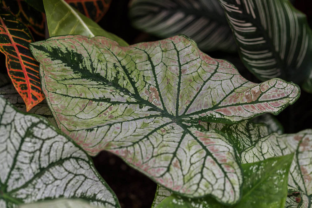 Codiaeum, Caladium, and Calathea. A very alliterative planting!