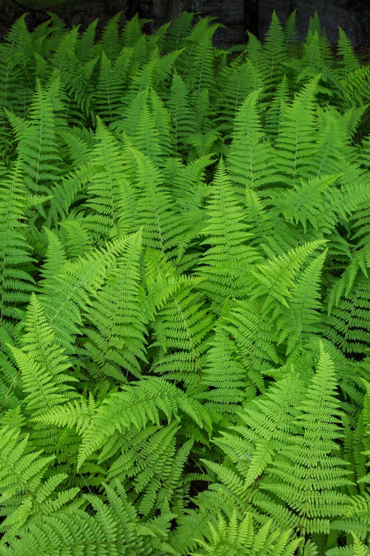 hay-scented-ferns-homestead-brooklyn.jpg