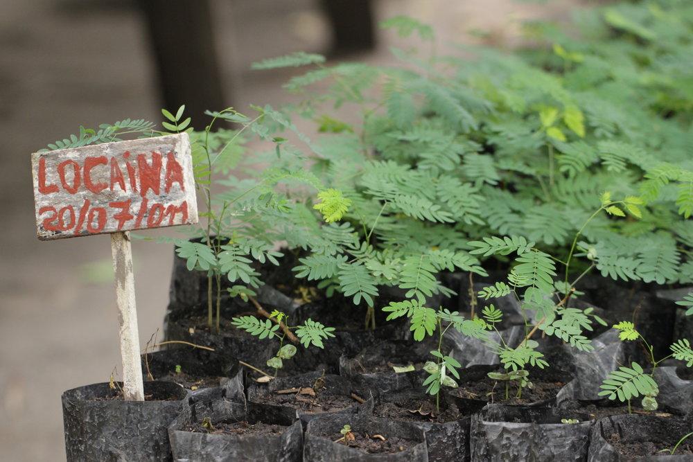 Locaina seedlings at the Mezimbite Forest Centre, prior to Hurricane Idai.