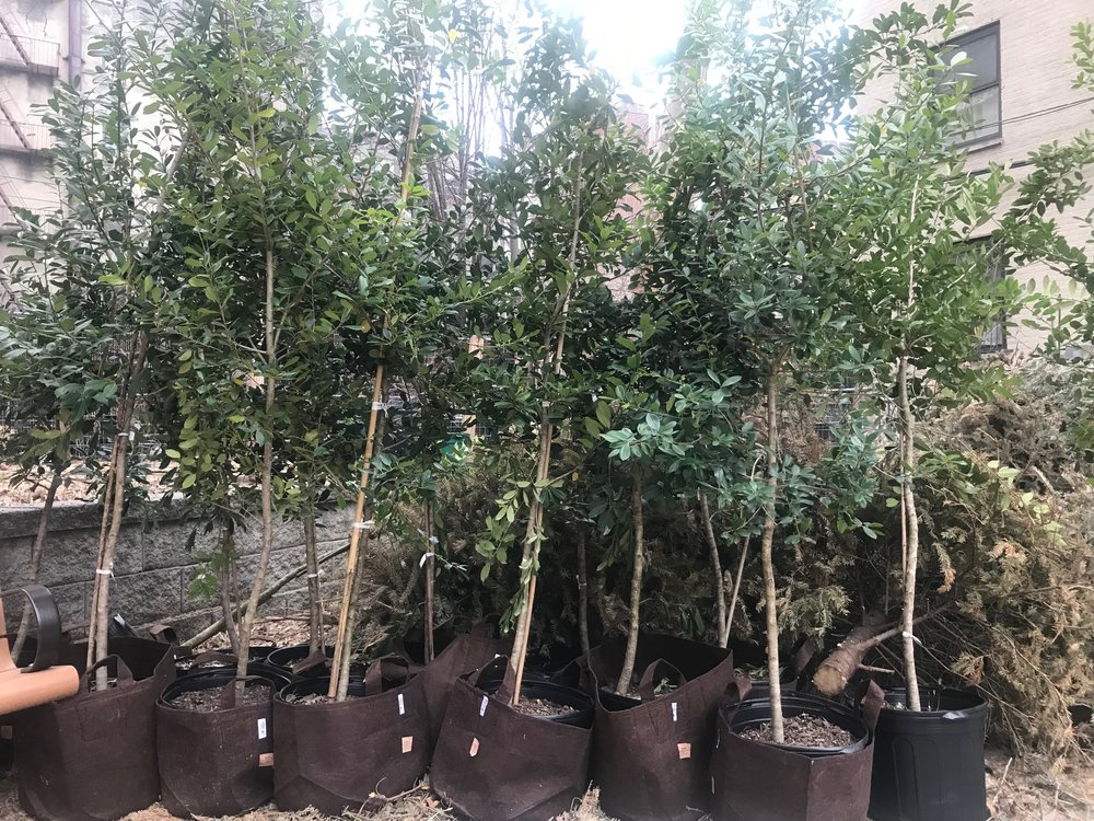 Some of the trees from the activation got surprisingly delivered to Los Sures, the Senior Ciitzen Service Center for which I volunteer at to care for the chickens.