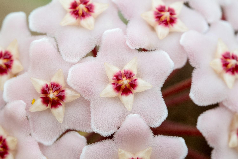 Organic Potting Soil Mix Hoya Plants Wax Flower Asclepia Plant Succulent Plants