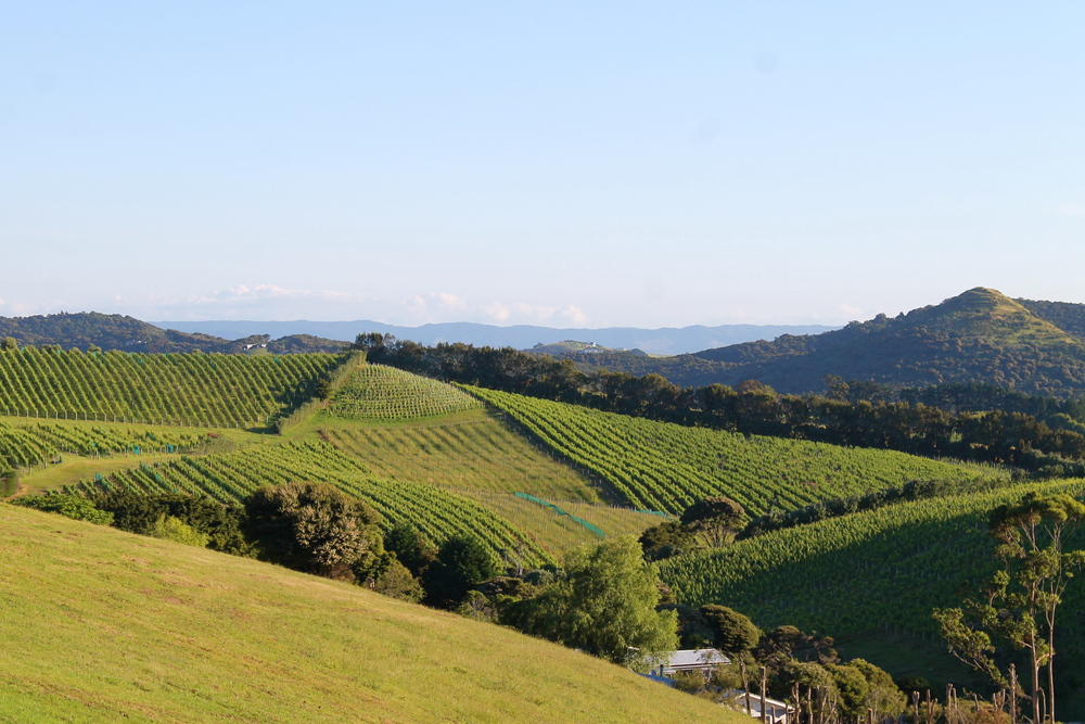 Vineyards in Waiheke.