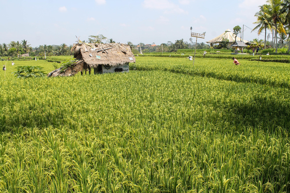 Ubud-Rice-Paddy