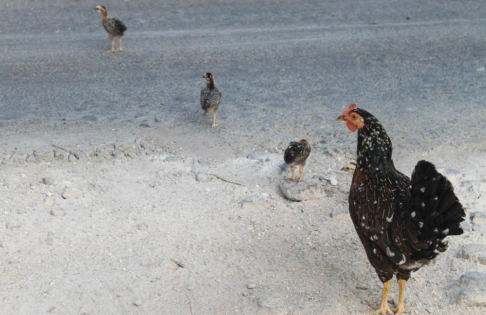 bali-chickens