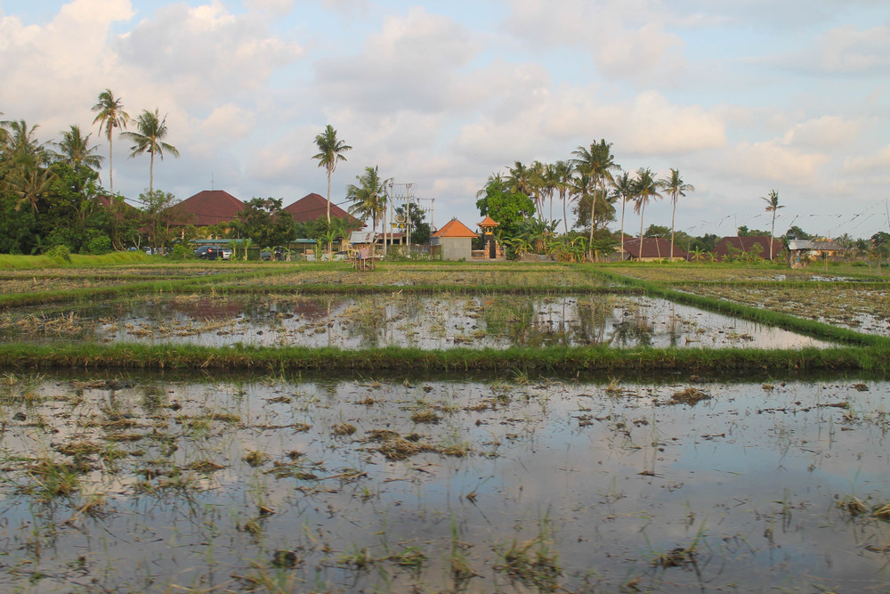 canggu-rice-paddy