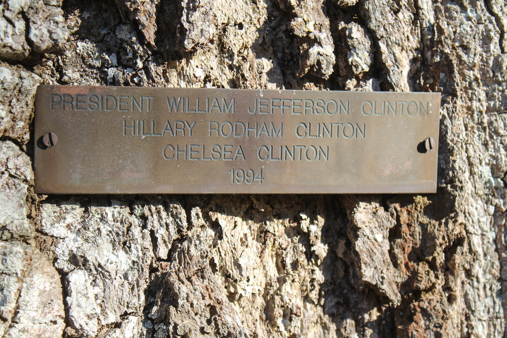 clinton-tree