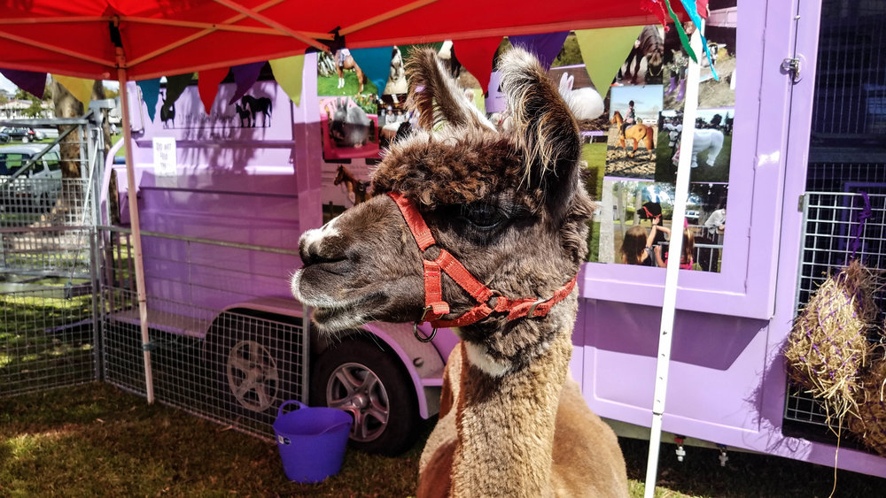New llama friend.