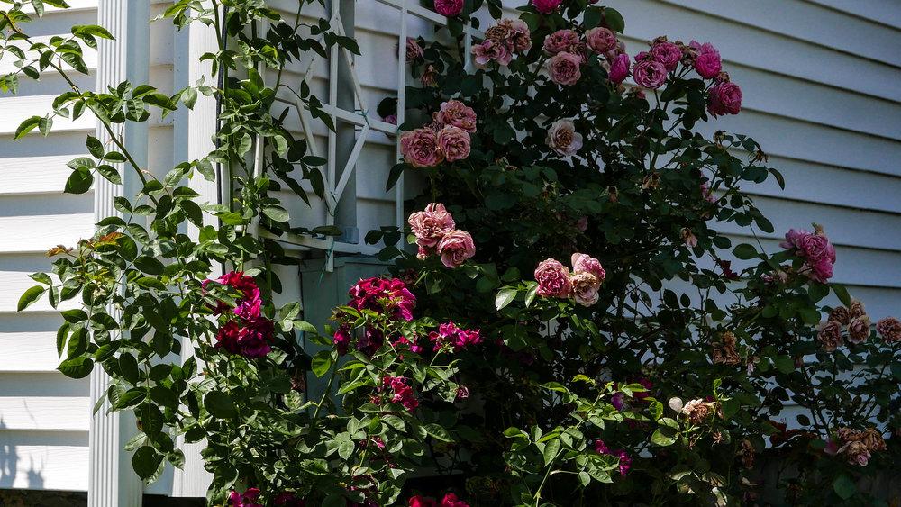 jp-roses.jpg