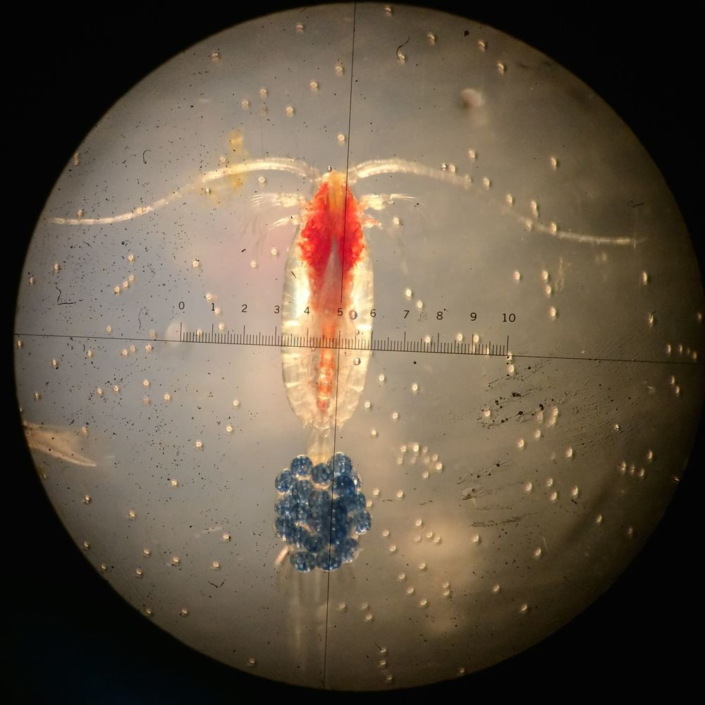 Copepod with egg clutch.